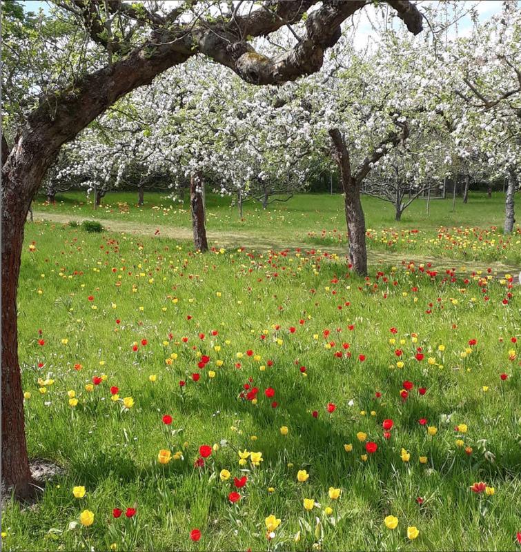 Cherry Blossoms in Britzer Garten